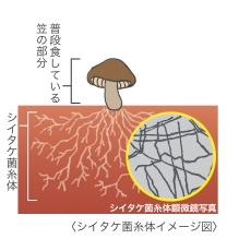 シイタケ菌糸体とは、シイタケの根にあたる部分になる。LEMとは、シイタケ菌糸体の抽出物のこと。