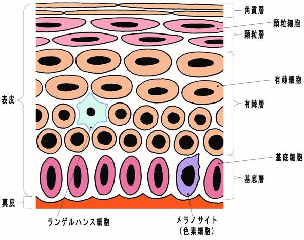 「皮膚を構成する組織 その2」
