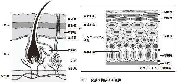 図1 皮膚を構成する組織