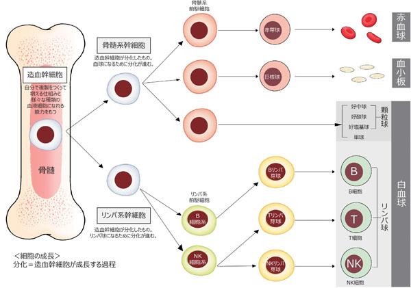 「血球の分化」