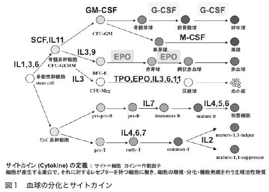 図1 血球の分化とサイトカイン