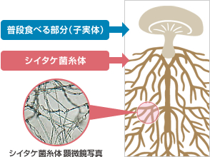 図2 根の部分にあるシイタケ菌糸体