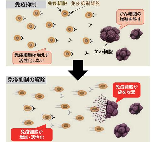 図1 免疫抑制と免疫抑制解除