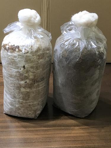 写真1 左は摂取後約130日、右は未接種品