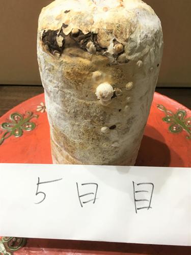 写真4 シイタケ菌糸体の培養物 5日目